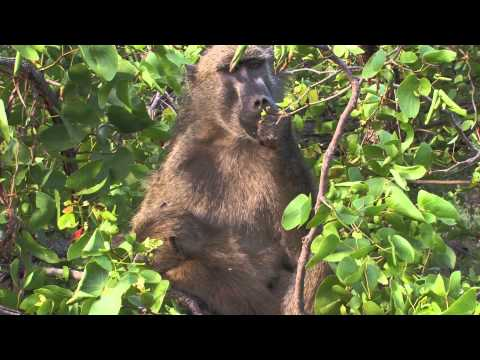 Sound of the African Bushveld, Baboons - AFRICAN WILDLIFE