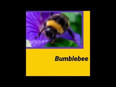 House Pet - Bumblebee