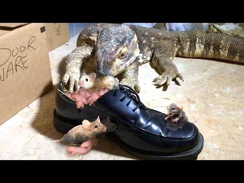 Lizard Finds Rat Nest in Nice Dress Shoes--Eats Everyone