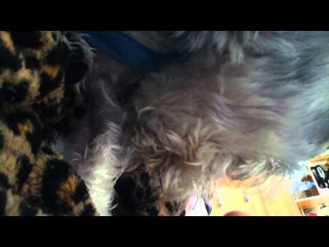 My dog Lucas licking himself