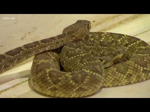 Taking you to the Sweetwater Rattlesnake Roundup