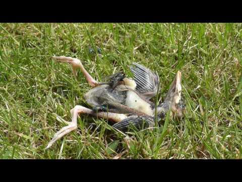 Battling territorial flies at normal speed