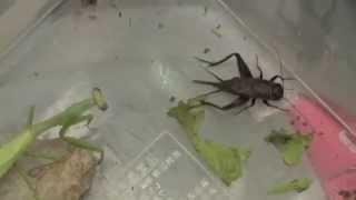 Praying Mantis Killed A Cricket