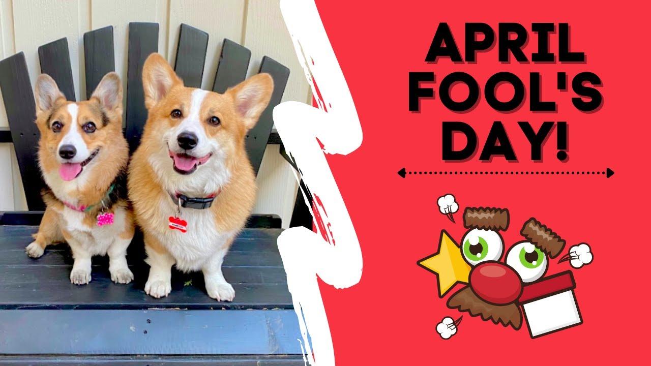 APRIL FOOL'S DAY SHENANIGANS! | Hammy & Olivia Corgi