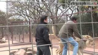 Telegraph Journalist Gets Mauled By Lion