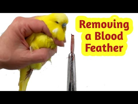 How to Remove a Broken Blood Feather