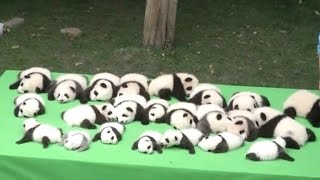 23 Adorable Baby Pandas Making Their Public Debut Will Melt Your Heart