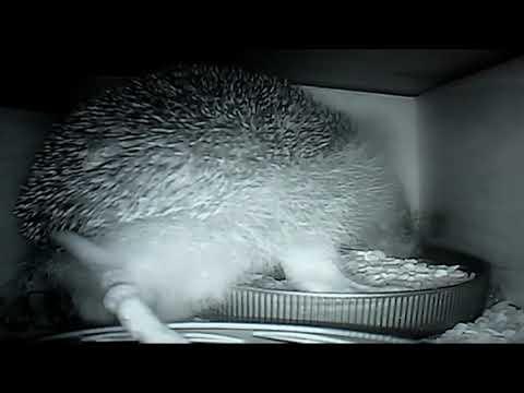 How to keep the hedgehog food to yourself...