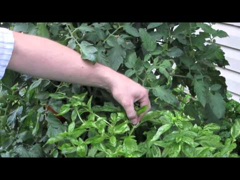 Growing Basil - How to Prune a Flowering Basil Plant