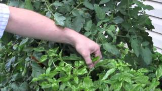 Growing Basil How To Prune A Flowering Basil Plant