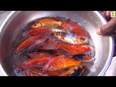 Starting a Business - Koi Fish Farm Business Ideas and Fish Aquarium Farming Project