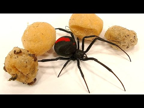 4 Deadly Spider Egg Sacs Whats Inside Is Amazing