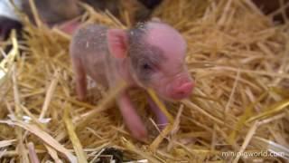 Mini Piglets Being Born Live