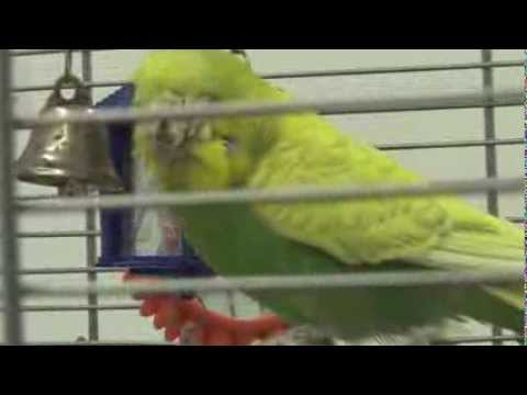 Budgie with an infection on his face and feet