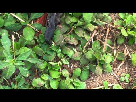 Pest Control-Earwigs