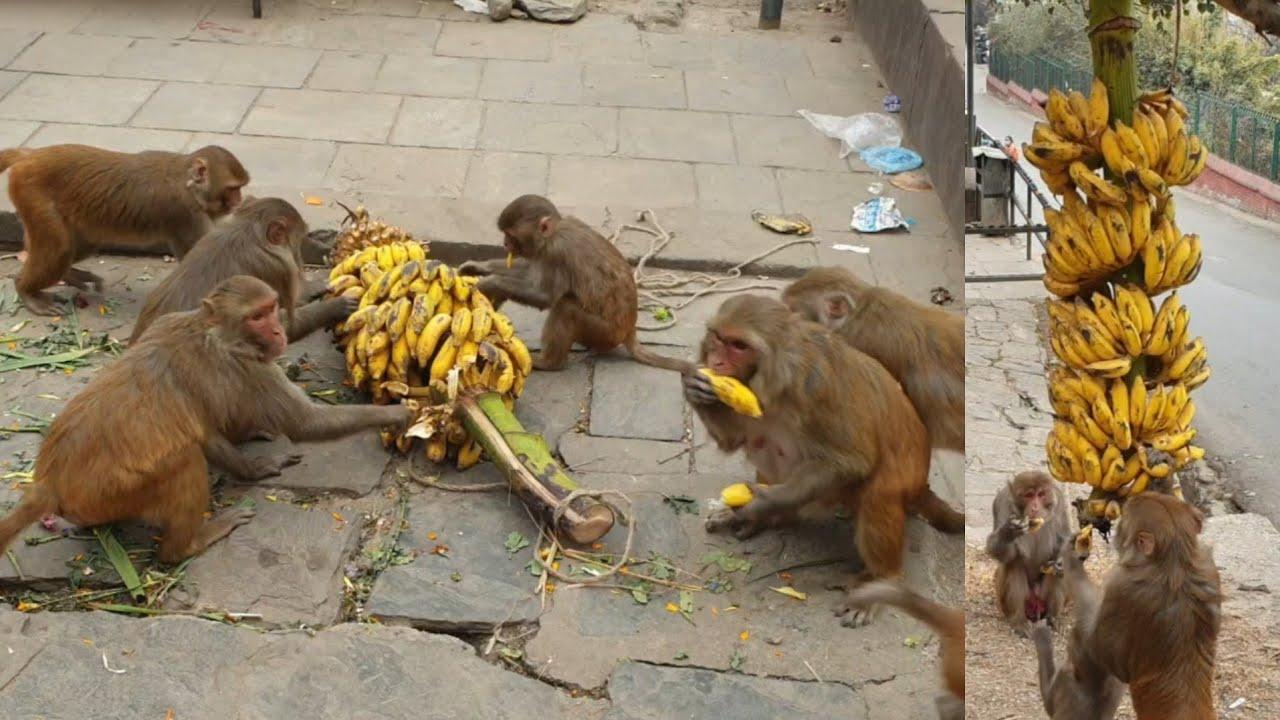 feeding banana to the monkey