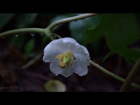 How To Identify Mayapple - Wild Edible Identification
