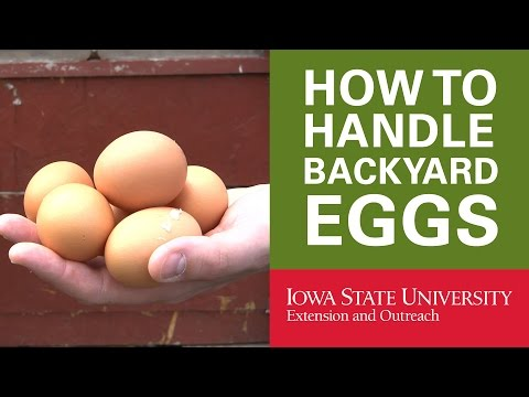 Backyard Chickens: How to Handle Your Backyard Eggs