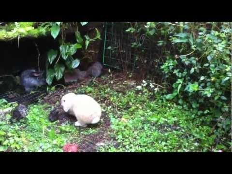Outdoor Walk-In Bunny Cage Project