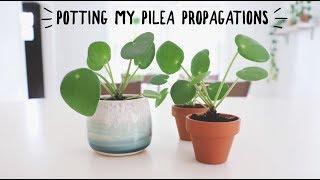 potting my miniature pilea propagations in soil!