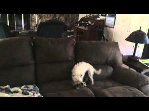 Hyper Puppy Jumping From Couch to Couch. Part 2