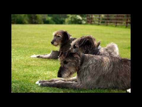 Pet Photography N.Ireland by McGrath Photography - Megan & Ebony, Irish Wolfhounds