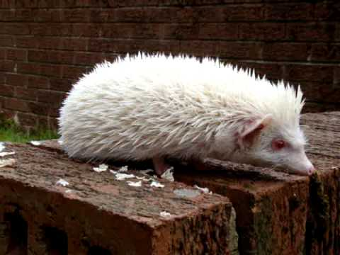 Albino African Pygmy Hedgehog Walking In the Garden - GRUMPY