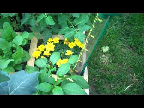 Tomato bug problem 5 12 11