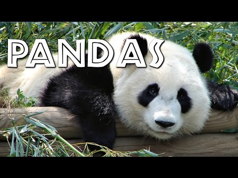All About Pandas for Kids - FreeSchool