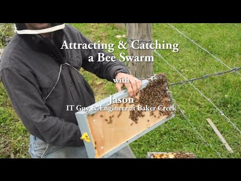 Attracting & Catching a Bee Swarm