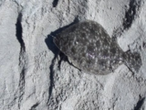 How to catch flounder in the surf