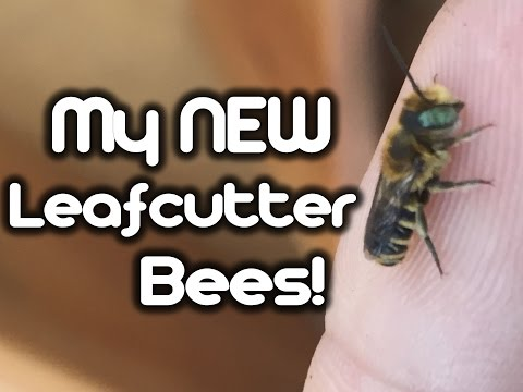 My New Leafcutter Bees!