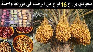 سعودي يزرع 16 نوع من الرطب في مزرعة واحدة   سناب الاحساء