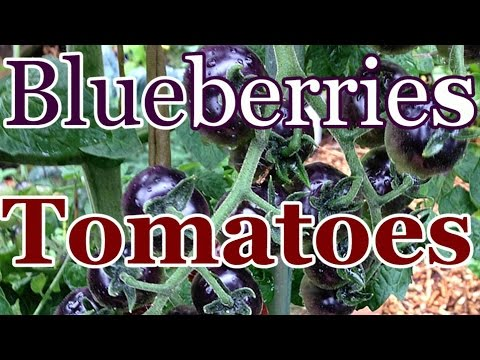 Not in Your Grocery Store: Blue Berries Tomatoes (Preserving Food Biodiversity)