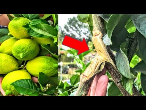Why & How To: Thinning Fruit | Correcting Broken Branches | Tree Seal - Paste