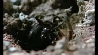 Download tarantula wasp owns BABOON SPIDER Video