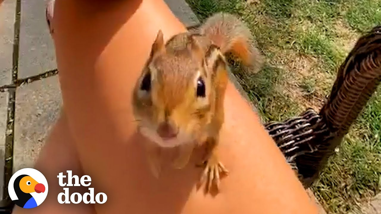 Chipmunk Gets So Jealous When His Favorite Girl Talks To Other Chipmunks | The Dodo Wild Hearts