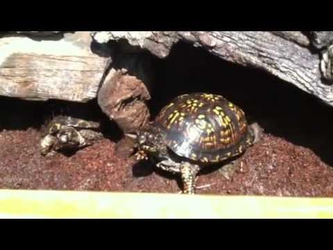 Eastern and Asian Box Turtle Outdoor Habitat