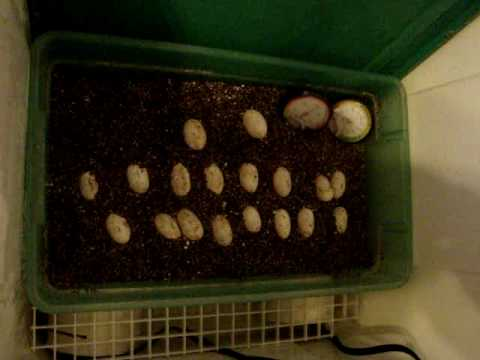 my incubator DIY bearded dragon eggs 2 clutch