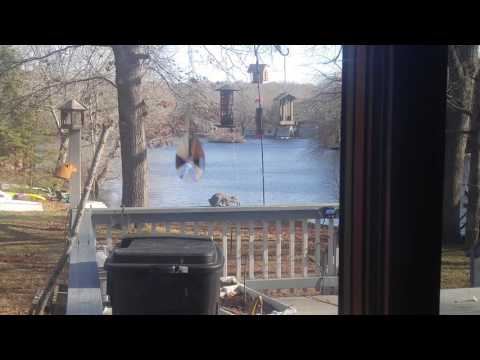 Squirrel and a electric fence