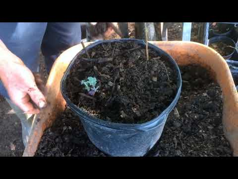 Hugelculture: In A Pot! (nursery trick)