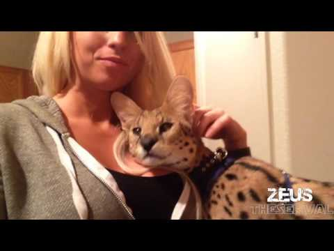 My Pet Wild Cat Compilation! - The Best of Owning an African Serval