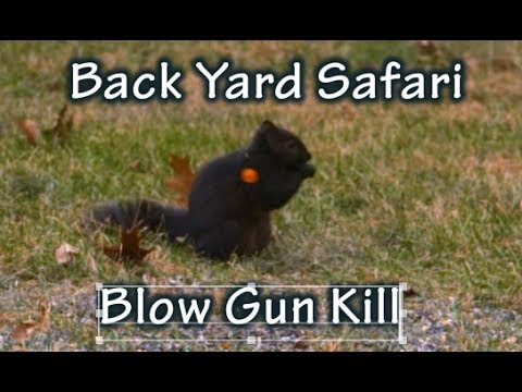 Backyard Blow Pipe Hunt and the Black Squirrel