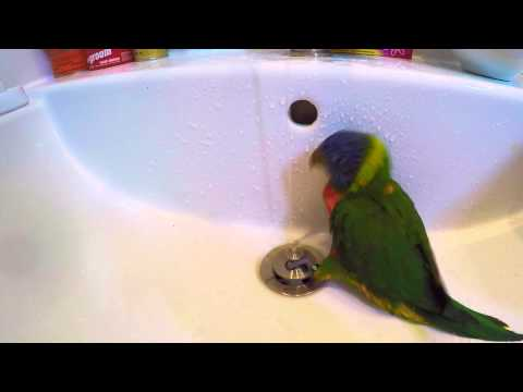 Adorable Young Rainbow Lorikeet Takes A Shower