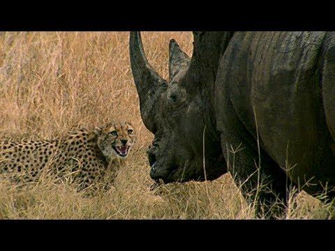 Curious Cheetah cubs take on a Rhino | BBC Earth