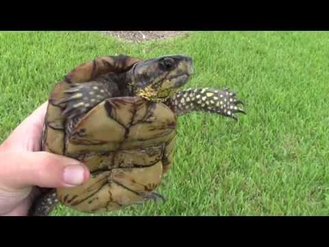 Florida Box Turtle!