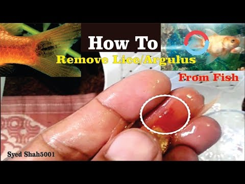 HOW TO: Remove Argulus Fish Lice from Goldfish and most Fish, Treatment   Hindi Urdu English sub