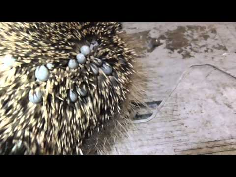 Animals Baby Hedgehog covered in ticks  2sep15 Cambridge UK 856pm