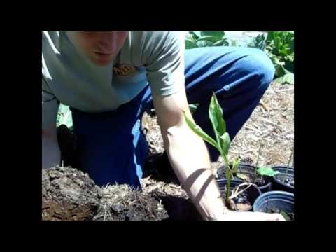 Planting Tumeric and Ginger Root in our Garden
