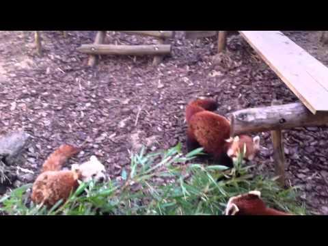 Cute Red panda eating bamboo ( Cuteness overload )